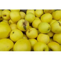Pomme Golden Bio - 1 kg